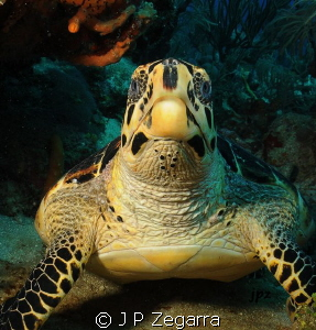 juvi hawksbill... Ikelite Nikon D300 Tokina 10-17 2 DS160 by J P Zegarra 